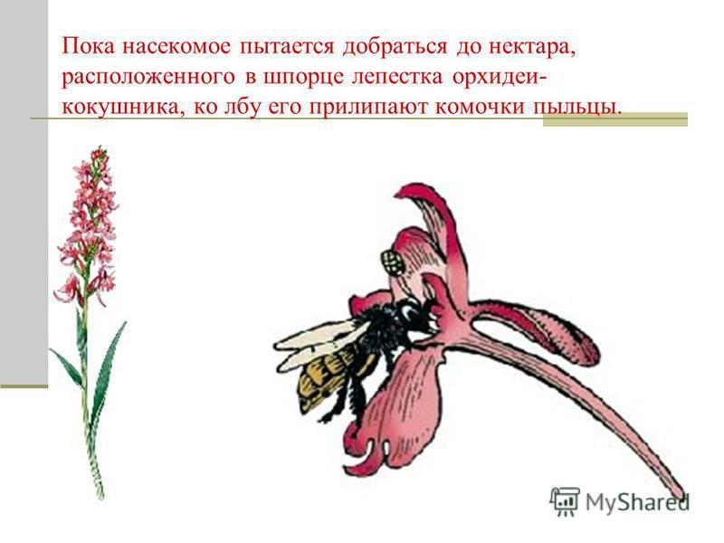 Пока насекомое пытается добраться до нектара, расположенного в шпорце лепестка орхидеи- кокошника, ко лбу его прилипают комочки пыльцы.