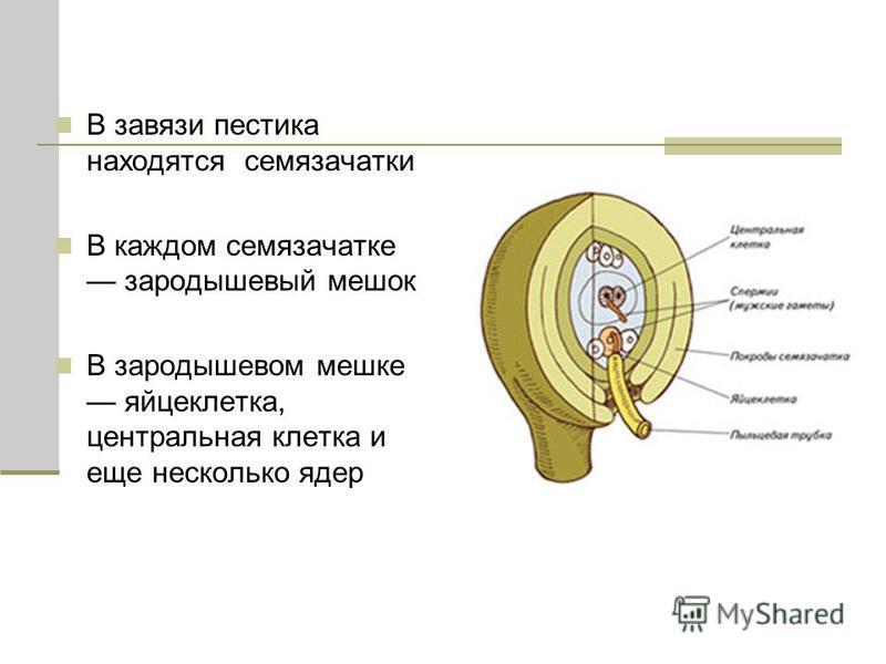 В завязи пестика находятся семязачатки В каждом семязачатке зародышевый мешок В зародышевом мешке яйцеклетка, центральная клетка и еще несколько ядер