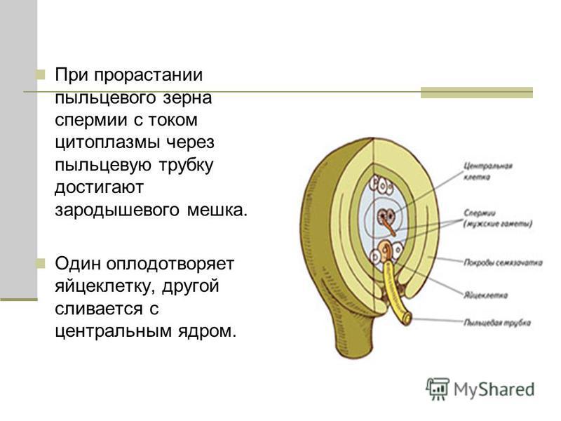 При прорастании пыльцевого зерна спермии с током цитоплазмы через пыльцевую трубку достигают зародышевого мешка. Один оплодотворяет яйцеклетку, другой сливается с центральным ядром.