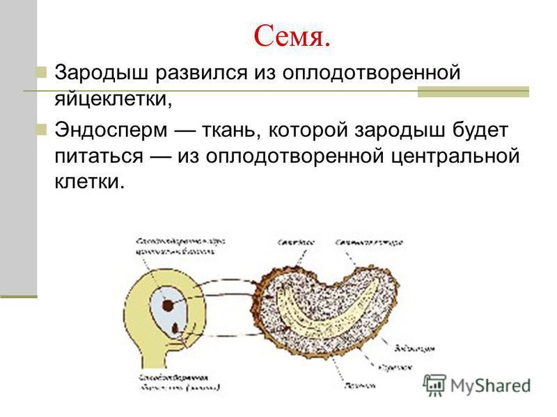Семя. Зародыш развился из оплодотворенной яйцеклетки, Эндосперм ткань, которой зародыш будет питаться из оплодотворенной центральной клетки.