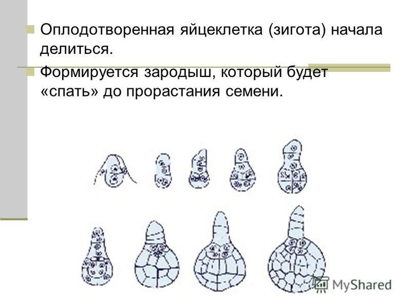 Оплодотворенная яйцеклетка (зигота) начала делиться. Формируется зародыш, который будет «спать» до прорастания семени.