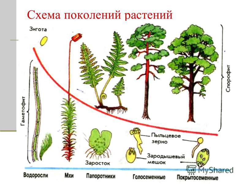 Схема поколений растений