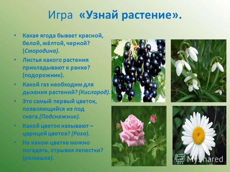 Игра «Узнай растение». Какая ягода бывает красной, белой, жёлтой, черной? (Смородина). Листья какого растения прикладывают к ранке? (подорожник). Какой газ необходим для дыхания растений? (Кислород). Это самый первый цветок, появляющийся из под снега