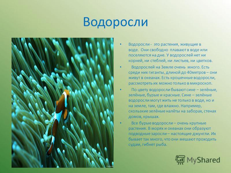 Водоросли Водоросли - это растения, живущие в воде. Они свободно плавают в воде или поселяются на дне. У водорослей нет ни корней, ни стеблей, ни листьев, ни цветков. Водорослей на Земле очень много. Есть среди них гиганты, длиной до 40 метров – они