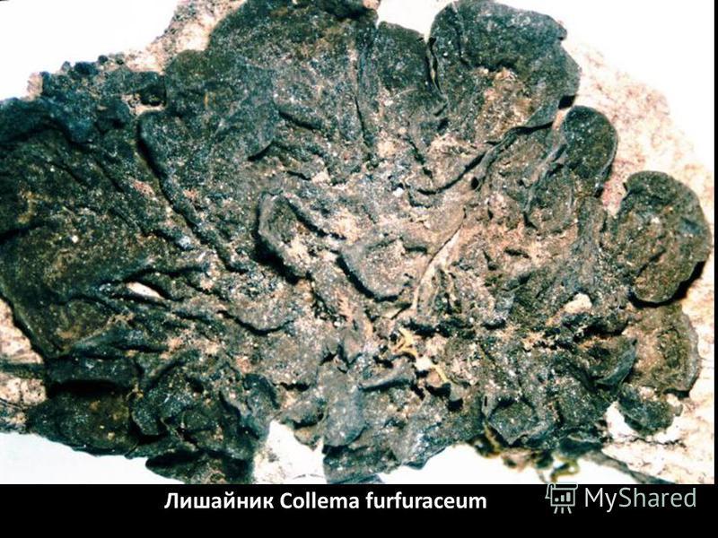 Лишайник Collema furfuraceum