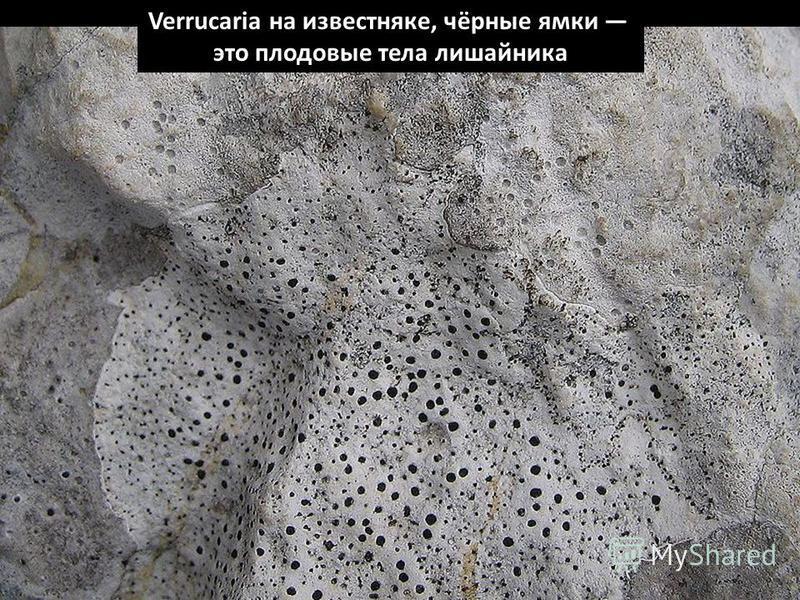 Verrucaria на известняке, чёрные ямки это плодовые тела лишайника
