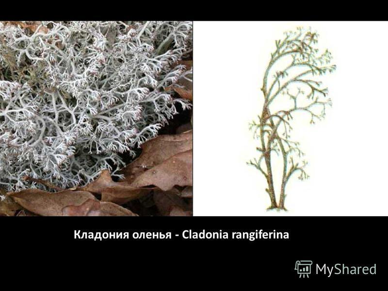 Кладония оленья - Cladonia rangiferina