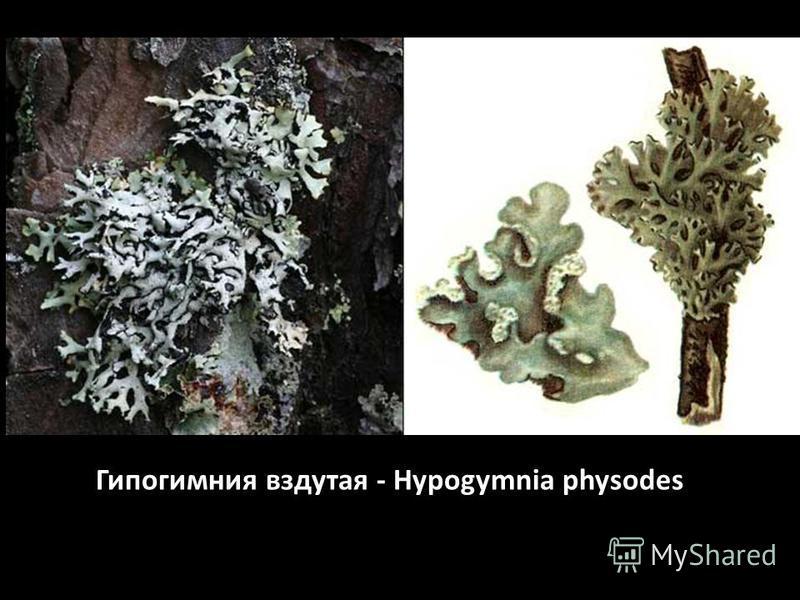 Гипогимния вздутая - Hypogymnia physodes