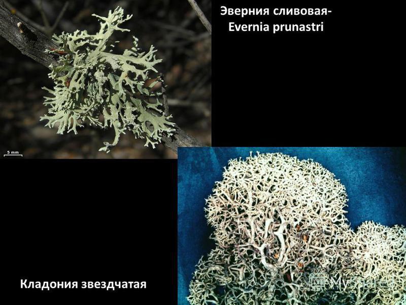 Эверния сливовая- Evernia prunastri Кладония звездчатая