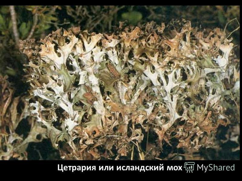 Цетрария или исландский мох