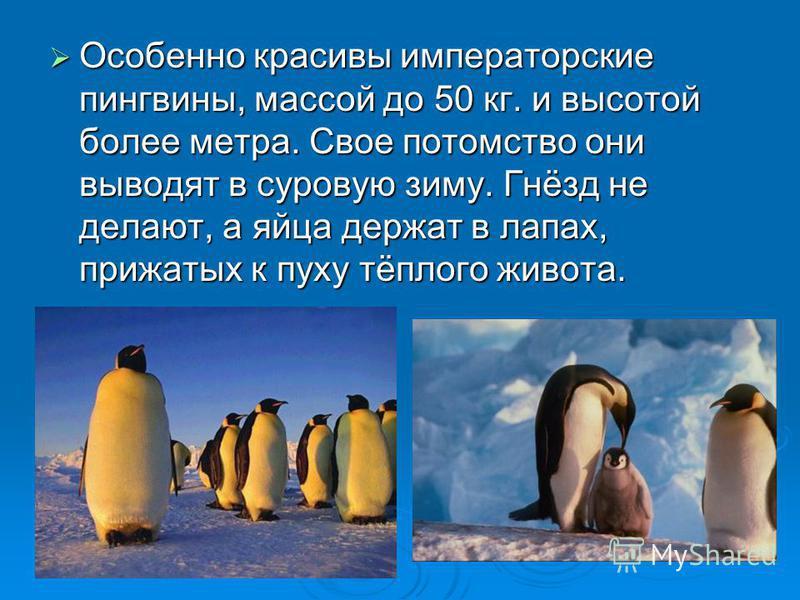 Особенно красивы императорские пингвины, массой до 50 кг. и высотой более метра. Свое потомство они выводят в суровую зиму. Гнёзд не делают, а яйца держат в лапах, прижатых к пуху тёплого живота. Особенно красивы императорские пингвины, массой до 50