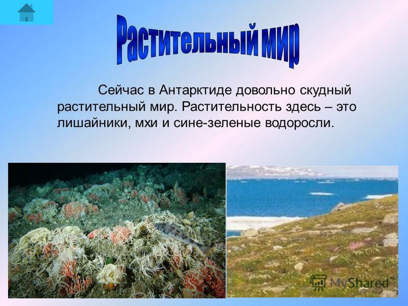 Сейчас в Антарктиде довольно скудный растительный мир. Растительность здесь – это лишайники, мхи и сине-зеленые водоросли.