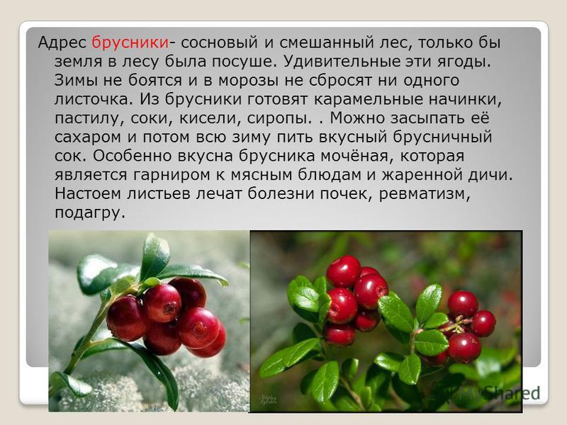 Адрес брусники- сосновый и смешанный лес, только бы земля в лесу была посуше. Удивительные эти ягоды. Зимы не боятся и в морозы не сбросят ни одного листочка. Из брусники готовят карамельные начинки, пастилу, соки, кисели, сиропы.. Можно засыпать её