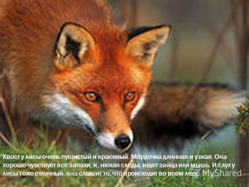 Хвост у лисы очень пушистый и красивый. Мордочка длинная и узкая. Она хорошо чувствует все запахи, и, нюхая следы, ищет зайца или мышь. И слух у лисы тоже отличный, она слышит то, что происходит во всем лесу.