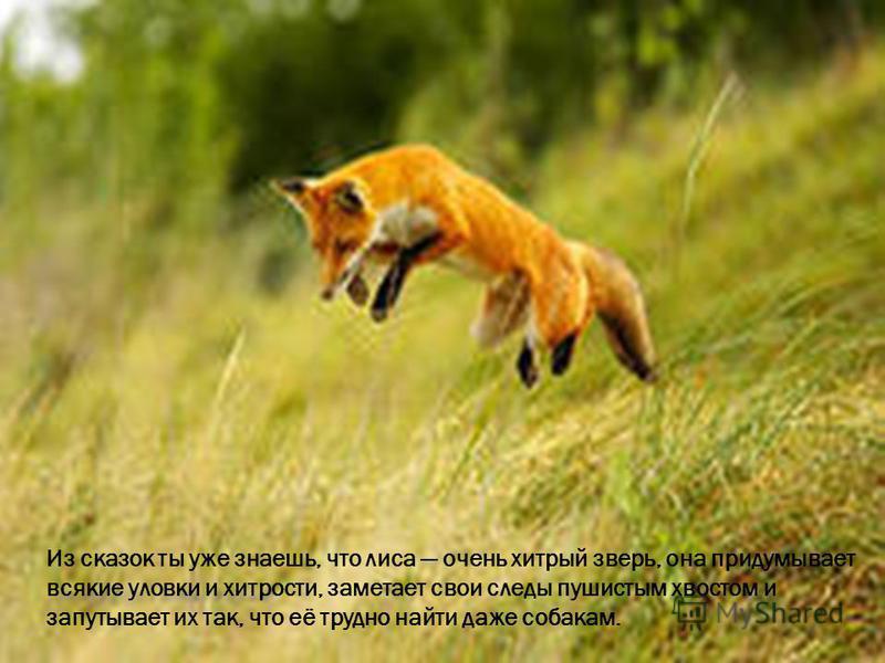 Из сказок ты уже знаешь, что лиса очень хитрый зверь, она придумывает всякие уловки и хитрости, заметает свои следы пушистым хвостом и запутывает их так, что её трудно найти даже собакам.