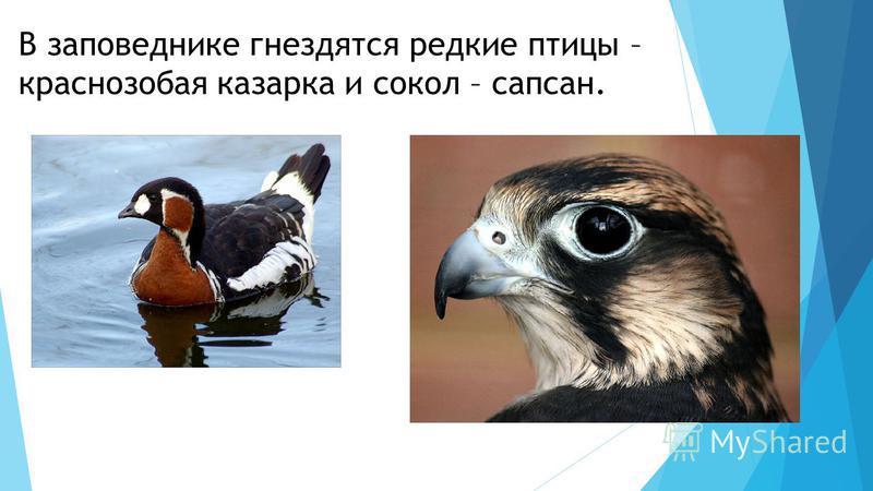В заповеднике гнездятся редкие птицы – краснозобая казарка и сокол – сапсан.