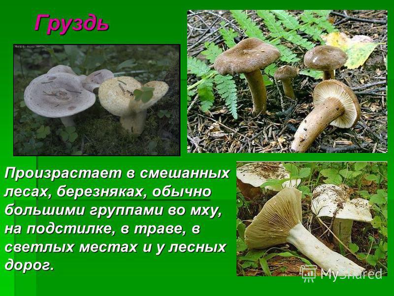 Груздь Произрастает в смешанных лесах, березняках, обычно большими группами во мху, на подстилке, в траве, в светлых местах и у лесных дороггг.