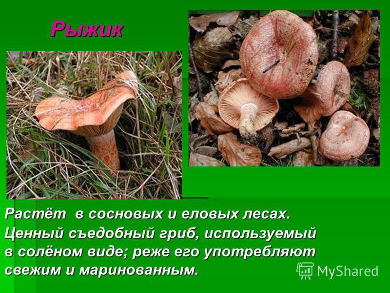 Рыжик Рыжик Растёт в сосновых и еловых лесах. Ценный съедобный гриб, используемый в солёном виде; реже его употребляют свежим и маринованным.