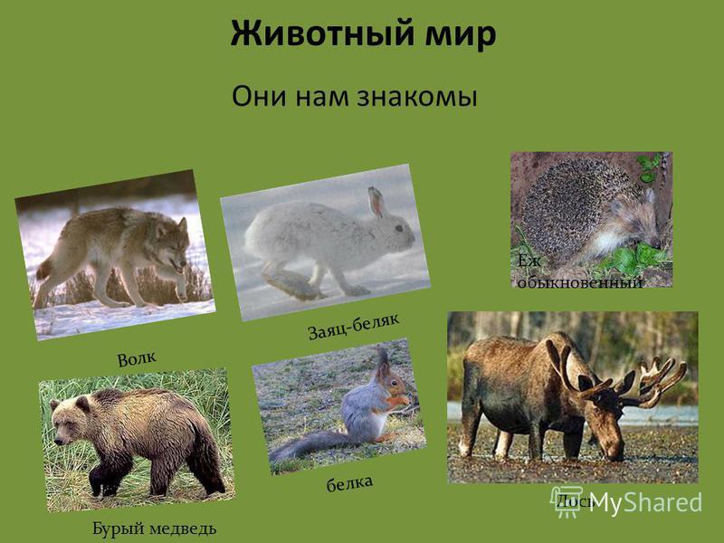 Они нам знакомы Животный мир Еж обыкновенный Заяц-беляк Волк Лось белка Бурый медведь