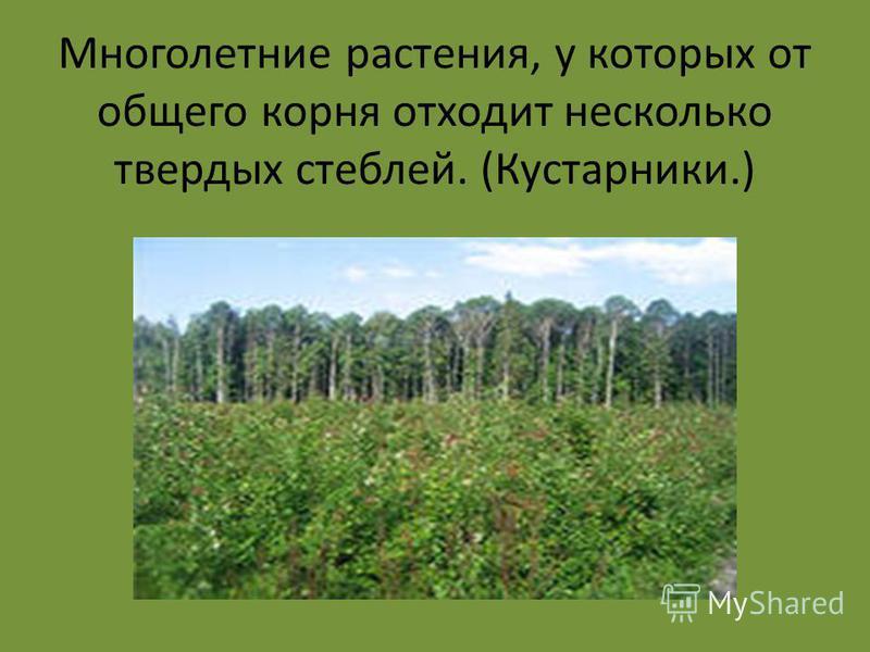 Многолетние растения, у которых от общего корня отходит несколько твердых стеблей. (Кустарники.)