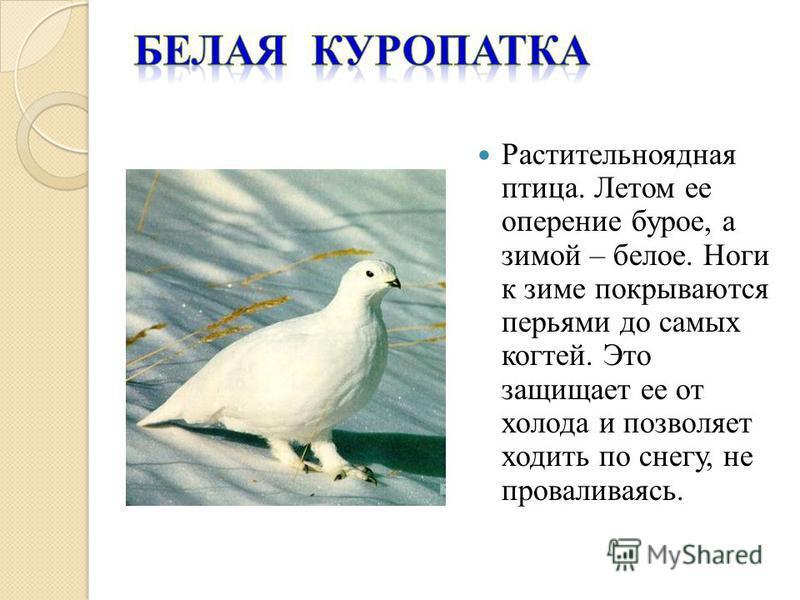 Растительноядная птица. Летом ее оперение бурое, а зимой – белое. Ноги к зиме покрываются перьями до самых когтей. Это защищает ее от холода и позволяет ходить по снегу, не проваливаясь.
