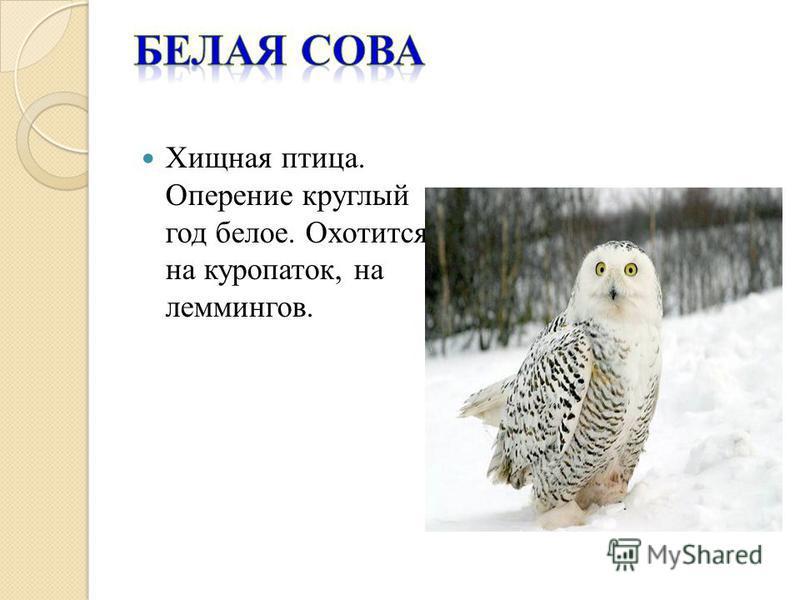 Хищная птица. Оперение круглый год белое. Охотится на куропаток, на леммингов.