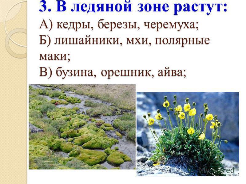 3. В ледяной зоне растут: А) кедры, березы, черемуха; Б) лишайники, мхи, полярные маки; В) бузина, орешник, айва;