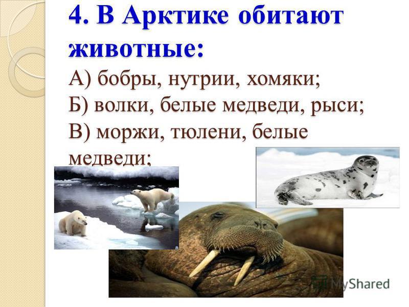 4. В Арктике обитают животные: А) бобры, нутрии, хомяки; Б) волки, белые медведи, рыси; В) моржи, тюлени, белые медведи;