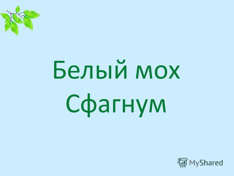 Белый мох Сфагнум
