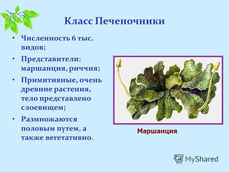 Класс Печеночники Численность 6 тыс. видов; Представители: маршанция, риччия; Примитивные, очень древние растения, тело представлено слоевищем; Размножаются половым путем, а также вегетативно. Маршанция