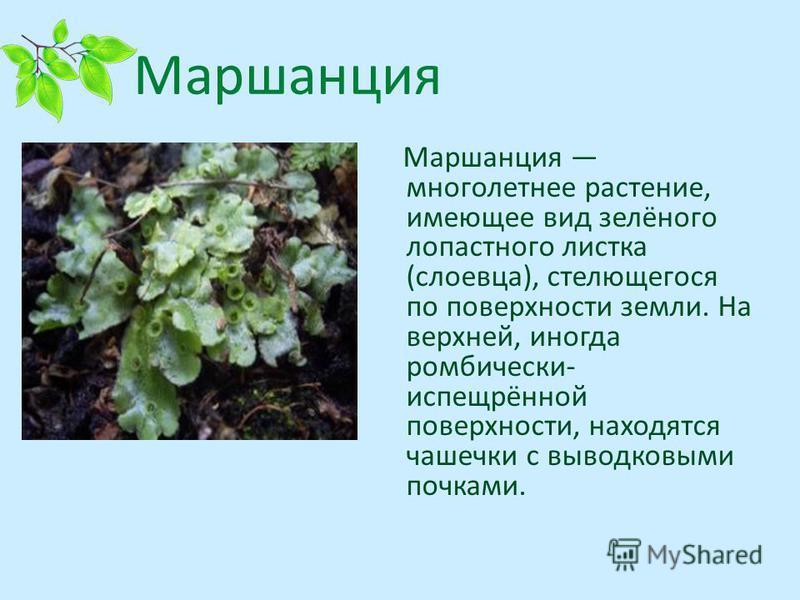 Маршанция многолетнее растение, имеющее вид зелёного лопастного листка (слоевца), стелющегося по поверхности земли. На верхней, иногда ромбически- испещрённой поверхности, находятся чашечки с выводковыми почками.