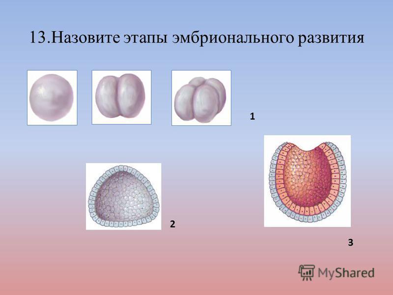 13. Назовите этапы эмбрионального развития 1 2 3