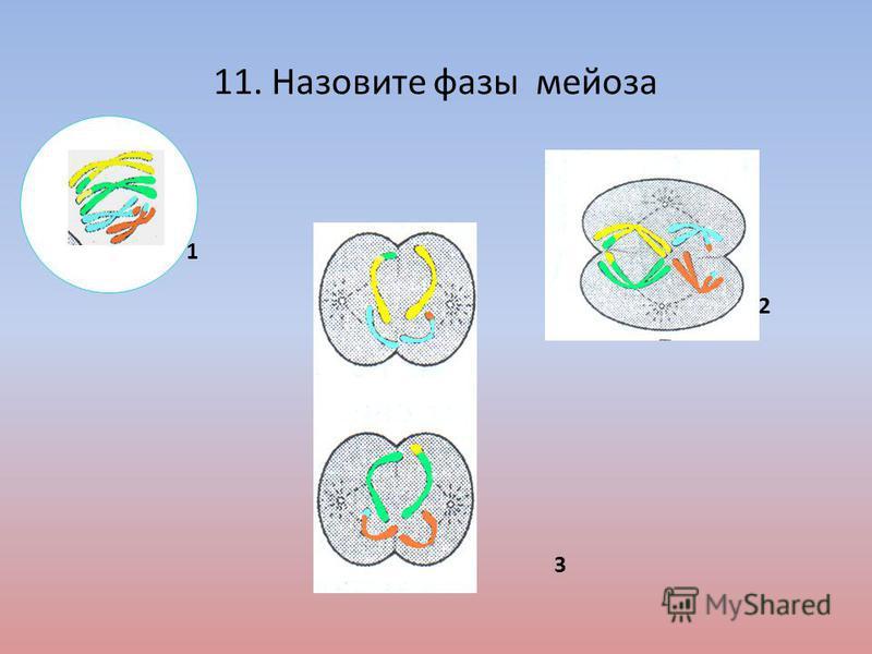 11. Назовите фазы мейоза 1 3 2