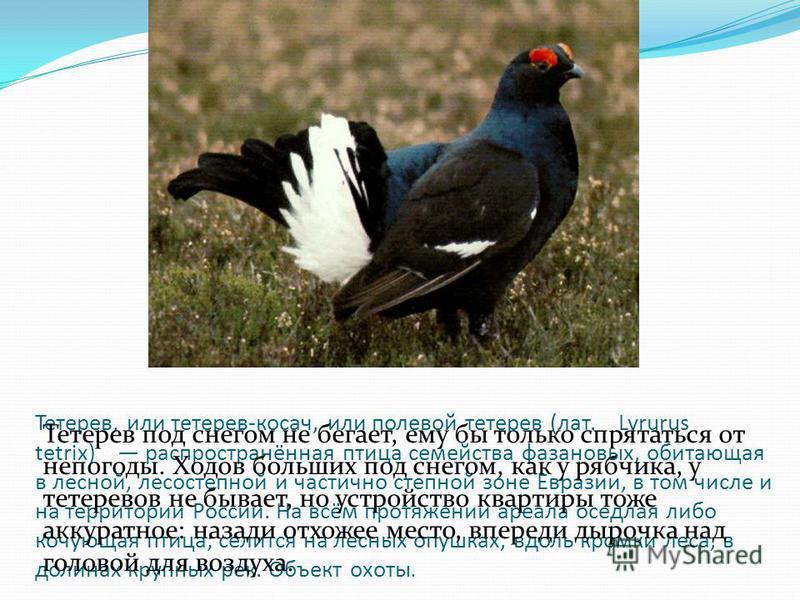 Тетерев, или тетерев-косач, или полевой тетерев (лат. Lyrurus tetrix) распространённая птица семейства фазановых, обитающая в лесной, лесостепной и частично степной зоне Евразии, в том числе и на территории России. На всём протяжении ареала оседлая л