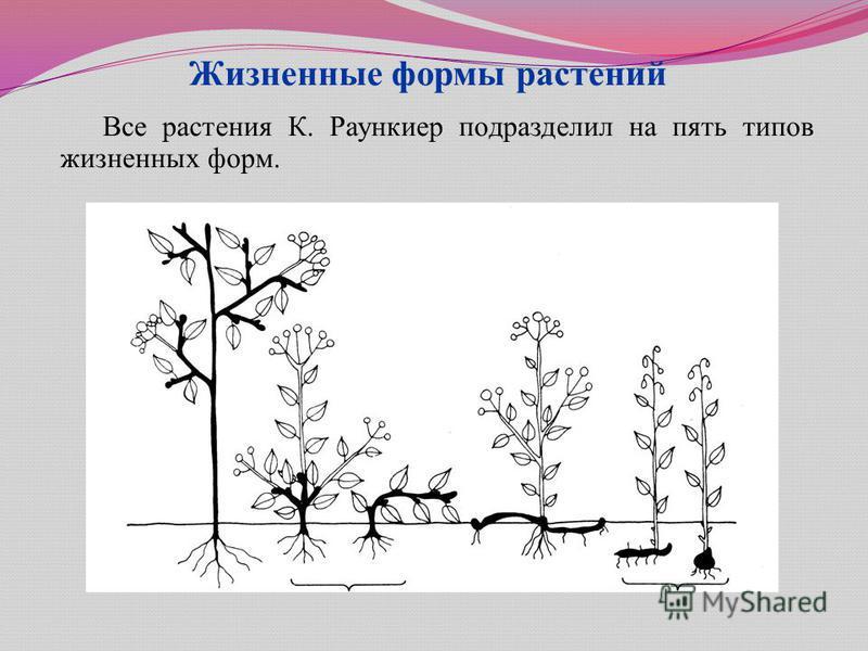 Жизненные формы растений Все растения К. Раункиер подразделил на пять типов жизненных форм.