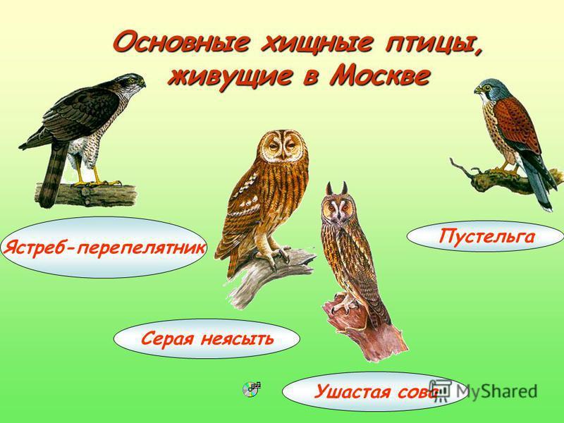 Основные хищные птицы, живущие в Москве Ястреб-перепелятник Серая неясыть Ушастая сова Пустельга
