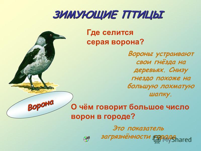 Это показатель загрязнённости города ЗИМУЮЩИЕ ПТИЦЫ Где селится серая ворона? Вороны устраивают свои гнёзда на деревьях. Снизу гнездо похоже на большую лохматую шапку. О чём говорит большое число ворон в городе? В о р о н а