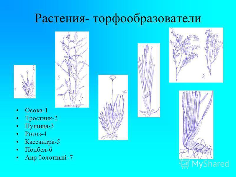 Растения- торфообразователи Осока-1 Тростник-2 Пушица-3 Рогоз-4 Кассандра-5 Подбел-6 Аир болотный -7 '