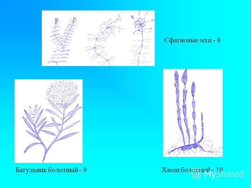 Сфагновые мхи - 8 Багульник болотный - 9 Хвощ болотный - 10
