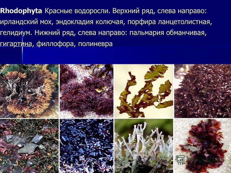 Rhodophyta Красные водоросли. Верхний ряд, слева направо: ирландский мох, эндокладия колючая, порфира ланцетолистная, гелидиум. Нижний ряд, слева направо: пальмария обманчивая, гигартина, филлофора, полиневра