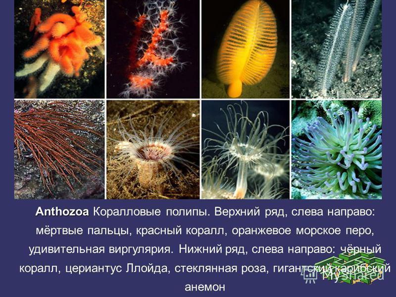 Anthozoa Anthozoa Коралловые полипы. Верхний ряд, слева направо: мёртвые пальцы, красный коралл, оранжевое морское перо, удивительная виргулярия. Нижний ряд, слева направо: чёрный коралл, цериантус Ллойда, стеклянная роза, гигантский карибский анемон