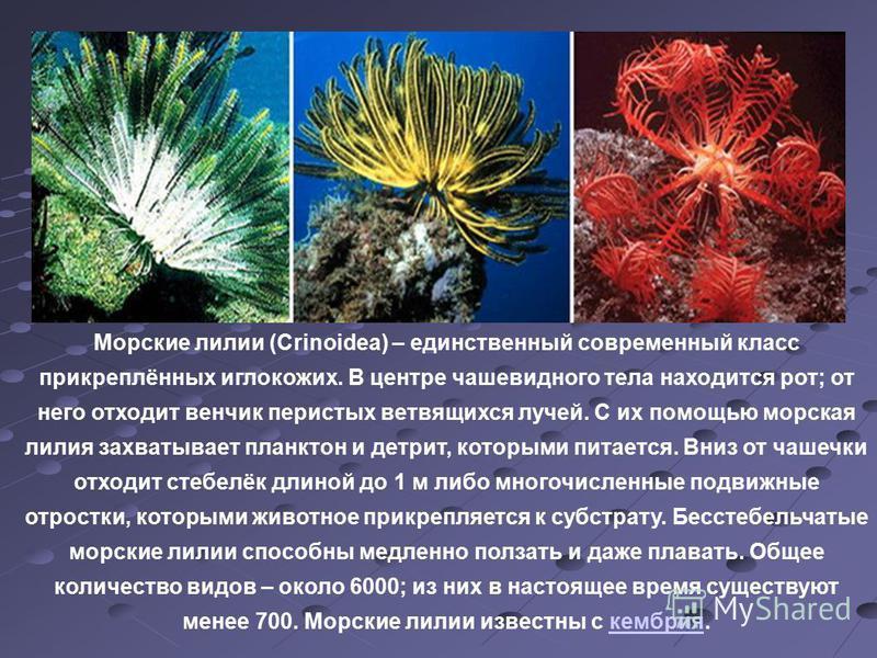 Морские лилии (Crinoidea) – единственный современный класс прикреплённых иглокожих. В центре чашевидного тела находится рот; от него отходит венчик перистых ветвящихся лучей. С их помощью морская лилия захватывает планктон и детрит, которыми питается