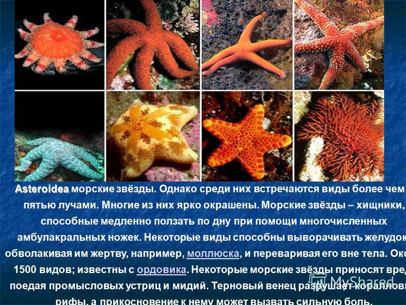 Asteroidea Asteroidea морские звёзды. Однако среди них встречаются виды более чем с пятью лучами. Многие из них ярко окрашены. Морские звёзды – хищники, способные медленно ползать по дну при помощи многочисленных амбулакральных ножек. Некоторые виды