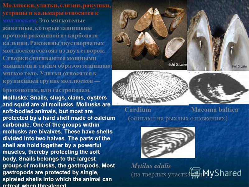 Моллюски, улитки, слизни, ракушки, устрицы и кальмары относятся к моллюскам. Это мягкотелые животные, которые защищены прочной раковиной из карбоната кальция. Раковины двустворчатых моллюсков состоят из двух створок. Створки стягиваются мощными мышца