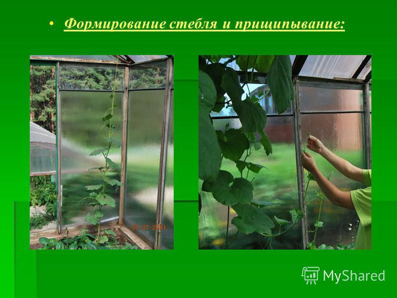 Формирование стебля и прищипывание: