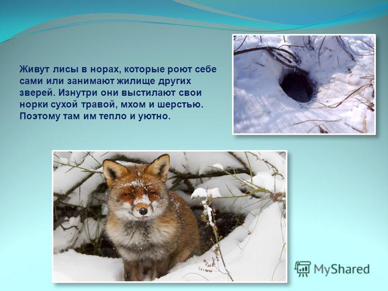 Живут лисы в норах, которые роют себе сами или занимают жилище других зверей. Изнутри они выстилают свои норки сухой травой, мхом и шерстью. Поэтому там им тепло и уютно.