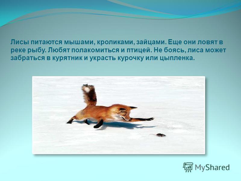 Лисы питаются мышами, кроликами, зайцами. Еще они ловят в реке рыбу. Любят полакомиться и птицей. Не боясь, лиса может забраться в курятник и украсть курочку или цыпленка.