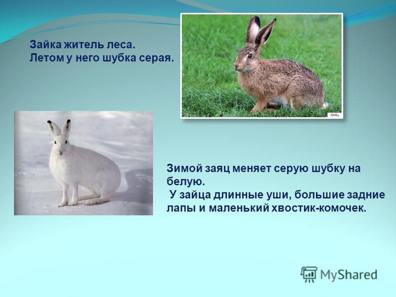 Зайка житель леса. Летом у него шубка серая. Зимой заяц меняет серую шубку на белую. У зайца длинные уши, большие задние лапы и маленький хвостик-комочек.
