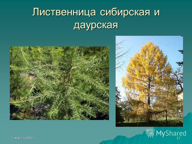 5 марта 2015 г.5 марта 2015 г.5 марта 2015 г.5 марта 2015 г.17 Лиственница сибирская и даурская