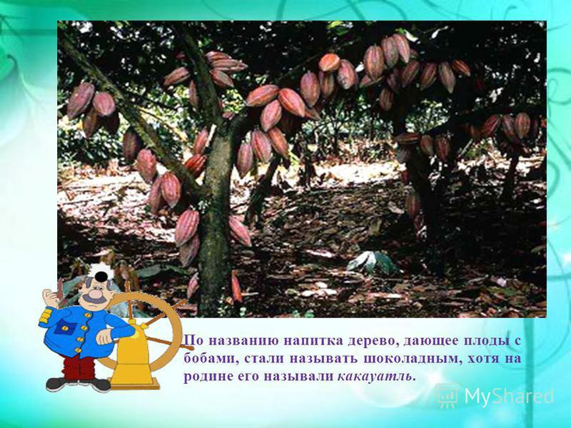 По названию напитка дерево, дающее плоды с бобами, стали называть шоколадным, хотя на родине его называли какауатль.